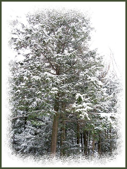 Frosty Snow Covered Pine Trees in a Scenic Wintry Forestscape after a Winter Storm in Quebec by Chantal PhotoPix