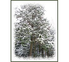 Frosty Snow Covered Pine Trees in a Scenic Wintry Forestscape after a Winter Storm in Quebec Photographic Print