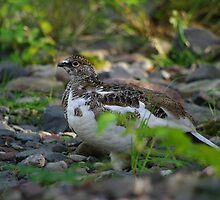 Ptarmigan by lukasdf