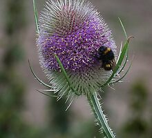 White-tailed Bumblbee on teasel by jonlenton
