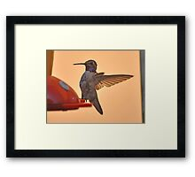 MALE HUMMINGBIRD ANNA'S IN ANGEL WING POSE Framed Print