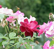 A Rose Bush with Roses and a Bee by STHogan
