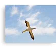 gannet flying Canvas Print