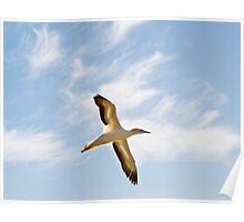 gannet flying Poster