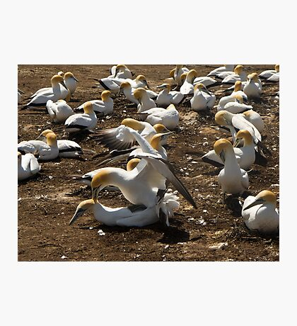 gannets mating Photographic Print