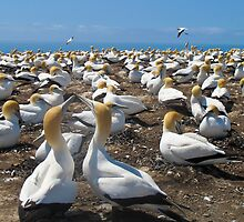 gannet colony by Anne Scantlebury