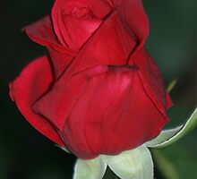 Red Rose Bud by STHogan