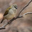 ''Red-browed Finch Neochmia temporalis''  by bowenite