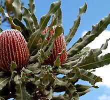 Banksia Menzies by kalaryder