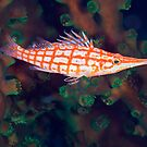 Hawkfish by David Wachenfeld