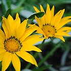 Two Yellow Flowers by Shaun  Gabrielli