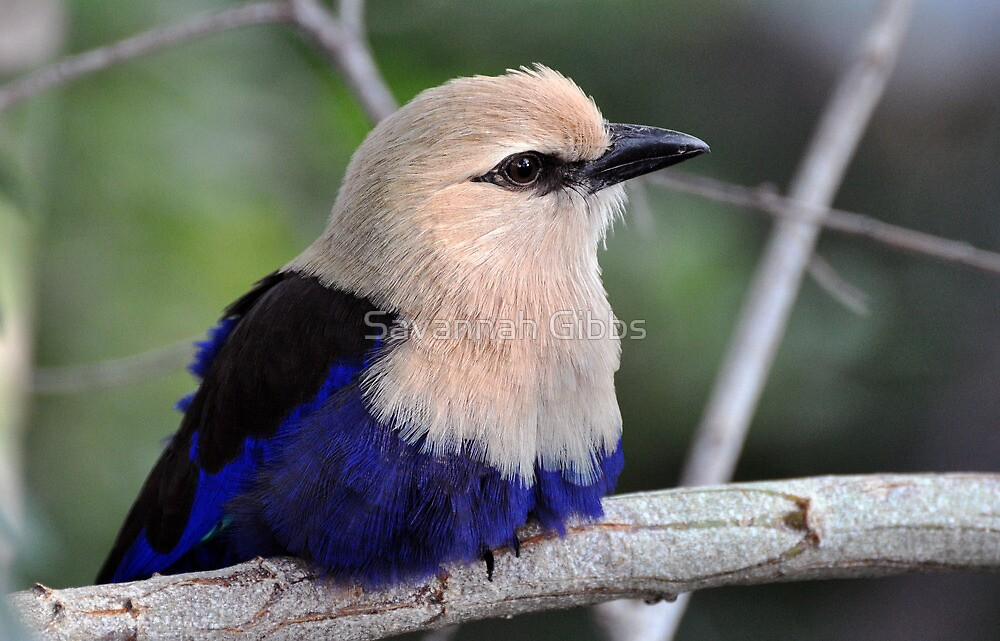 Blue-bellied Roller by Savannah Gibbs