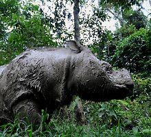 Sumatran rhino by Nirmal  Ghosh