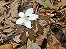 Wood Anemone - Anemone quinquefolia by MotherNature