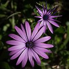 Same plant two petal shapes Leith Park Victoria 20150926 2399   by Fred Mitchell