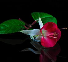 Fuchsias XXXI by Tom Newman