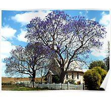 Jacarandas in bloom Poster