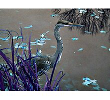 Blue Heron against Purple grass Photographic Print