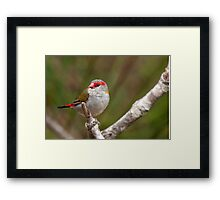 Red-Browed Finch Framed Print