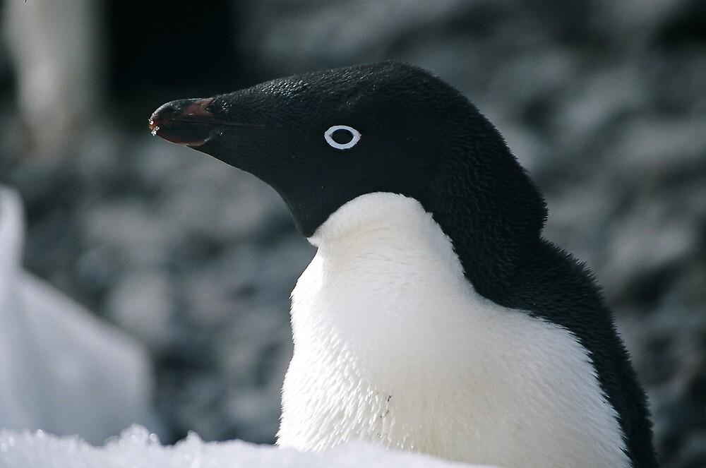 Adele Penguin by michaelpartis
