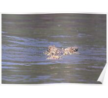 Albino saltwater crocodile Poster