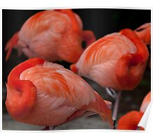 Caribbean Flamingos Poster