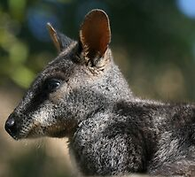 Rock Wallaby by michaelpartis