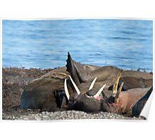 Sunning walrus Poster