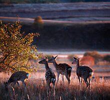 Sika Deer by Jason Pang, FAPS FADPA