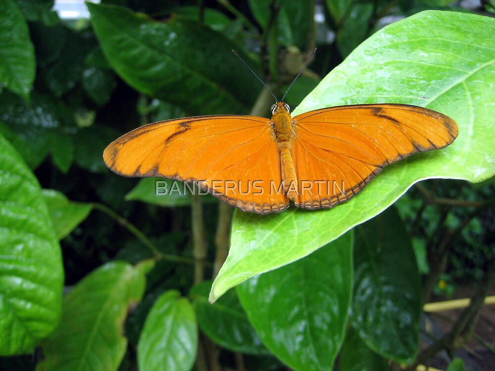 Butterfly on a leaf by BANDERUS MARTIN