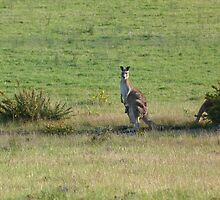 Kangaroos with Joey in her pouch by Jane  mcainsh