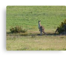 Kangaroos with Joey in her pouch Canvas Print