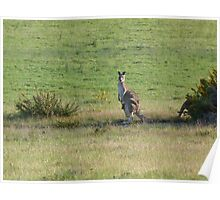 Kangaroos with Joey in her pouch Poster