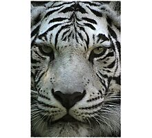 Stripes on a tiger don't wash away............ Photographic Print