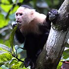 White faced monkey, la Gloria de Puriscal by Guy Tschiderer