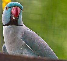 Indian Ring Necked Parakeet by Asif Patel
