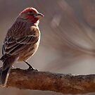 Housefinch by Bine