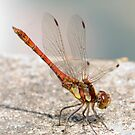 Common Darter dragonfly - Sympetrum striolatum by Robert Down