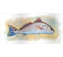 Redfish Illustration, Red Drum Poster