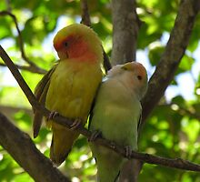 Dominican birds by scaff