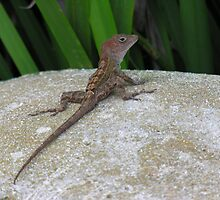 Dominican lizard by scaff