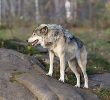 A lone timber wolf  by Josef Pittner