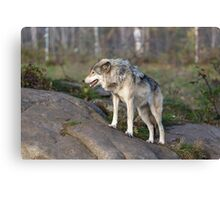 A lone timber wolf  Canvas Print