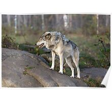 A lone timber wolf  Poster