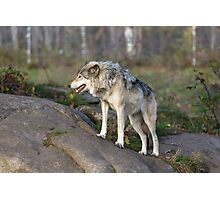 A lone timber wolf  Photographic Print