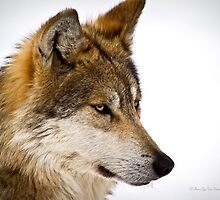 Mexican Gray Wolf ( 1 of 3 ) by Tim Denny