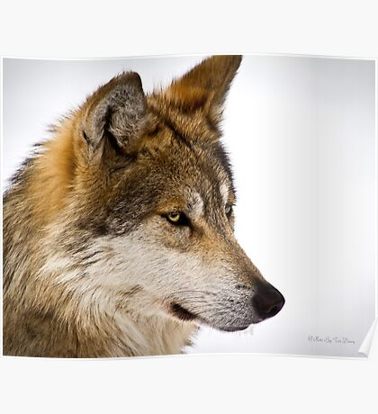 Mexican Gray Wolf ( 1 of 3 ) Poster