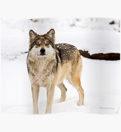 Mexican Gray Wolf ( 3 of 3 ) Poster