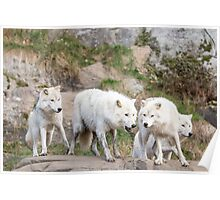 A pack of Arctic Wolves Poster