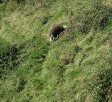 Herdwick Sheep, Corfe Castle, Dorset, England Sticker